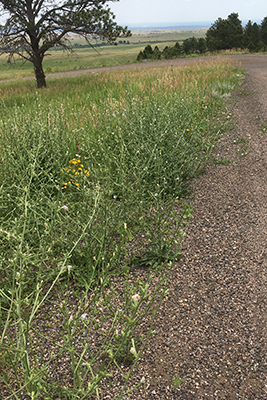 Chicory on roadside