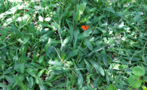 Orange Hawkweed Patch