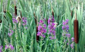 Purple Loosestrife Plant 2