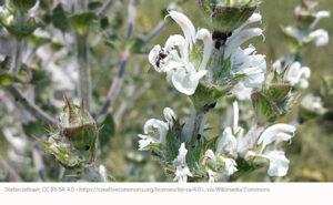 Mediterranean Sage Flower